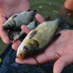 Зарибяване на язовир Пясъчник с шаранови риби 2018